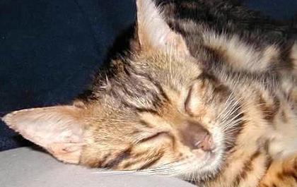 Kahlua, cat